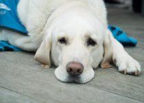 un cane sofferente dal veterinario